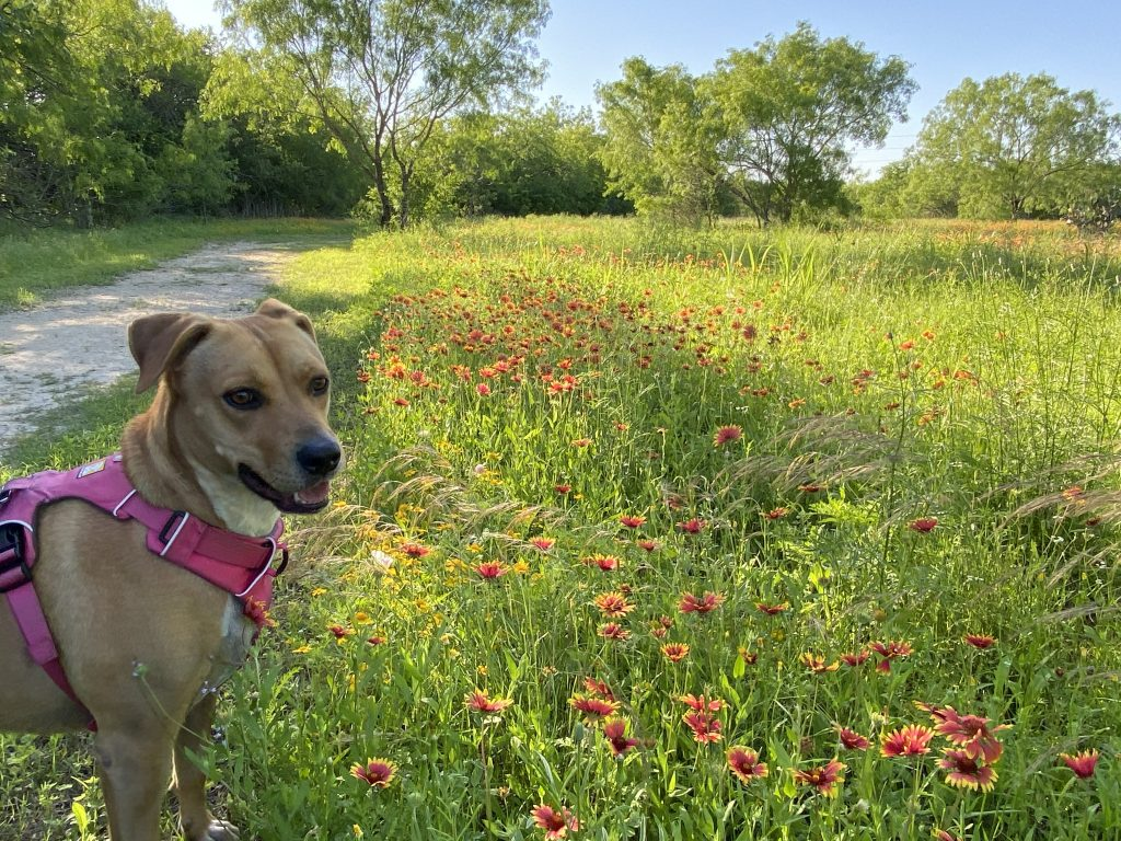 We hiked through fields of colorful wildflowers at Medina River Natural Area in San Antonio, TX