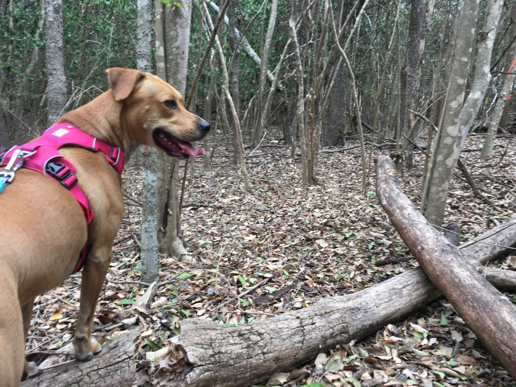 Abbey stands on a fallen tree in the woods at Friesenhahn Park.