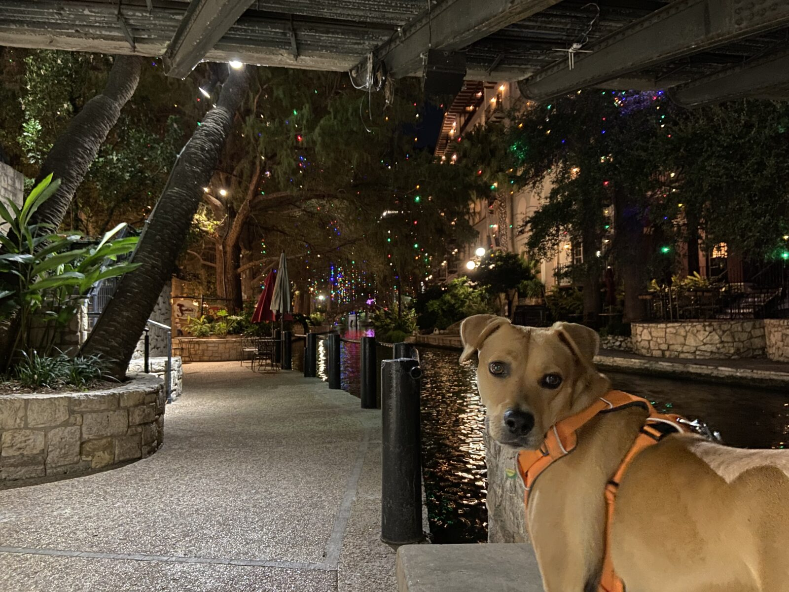 Our favorite time to take our dog for a walk on the San Antonio Riverwalk is during Christmastime.