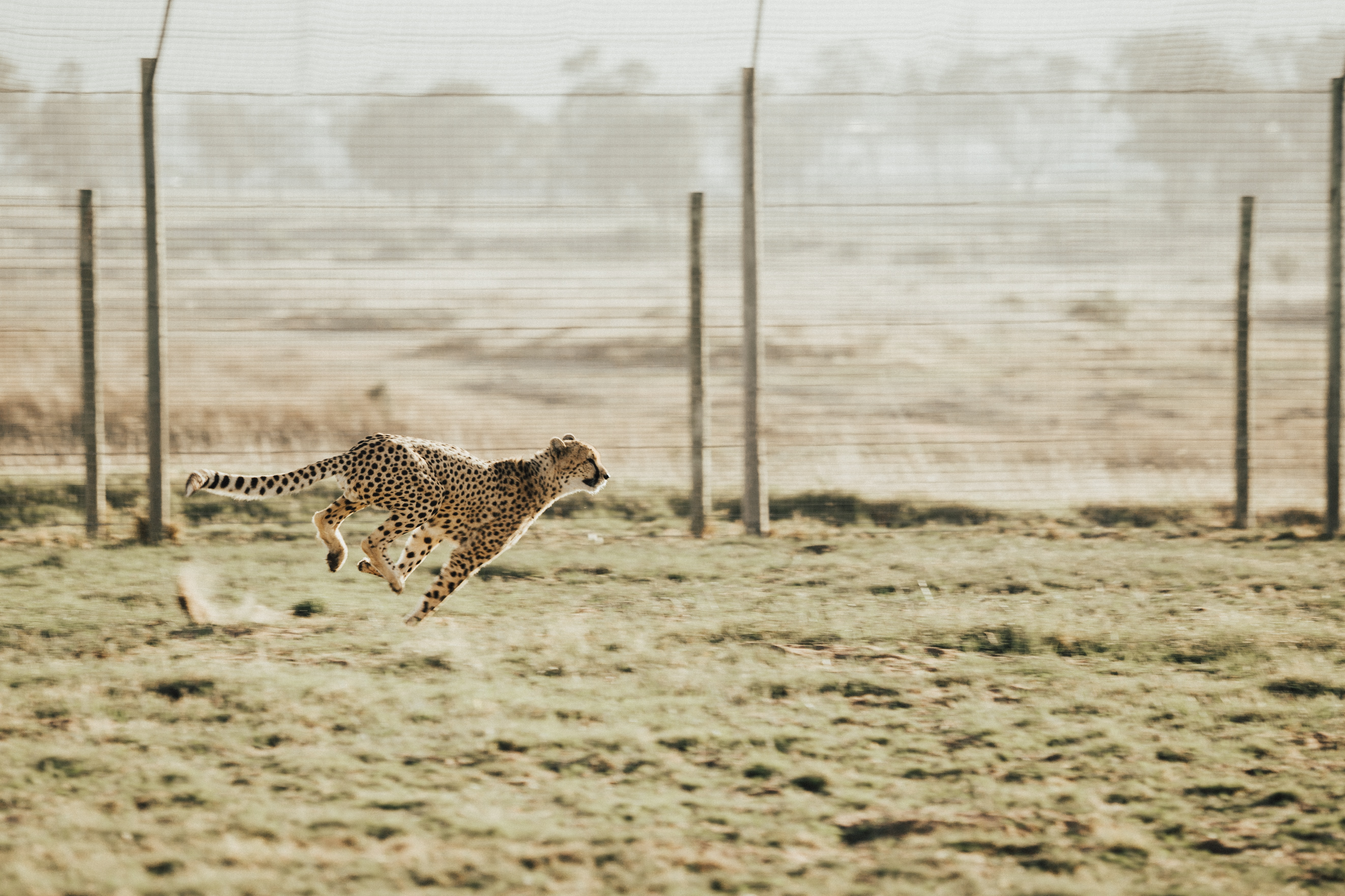 Cheetahs get fit outside by sprinting and doing cheetah things.